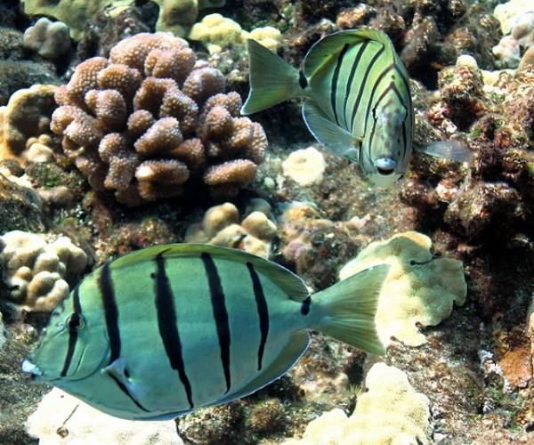 Dancing fish at Molokini